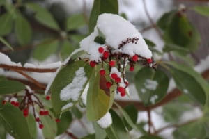 Madrone berries - with snow - but NOT New Zealand